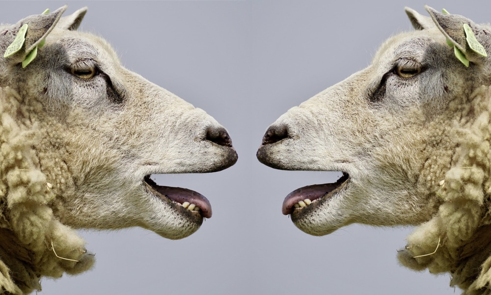 Две овце блеят една срещу друга, разговор, общуване